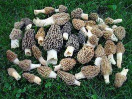 best morel mushroom growing kit